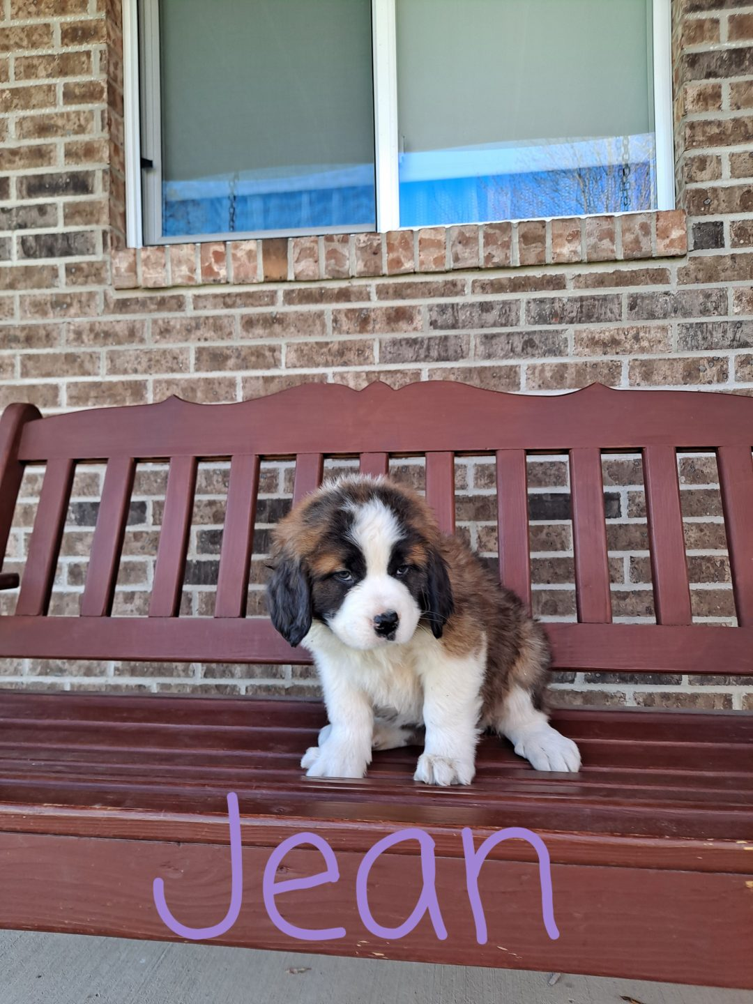 Jean - AKC Saint Bernard doggie for sale in New Haven, Indiana