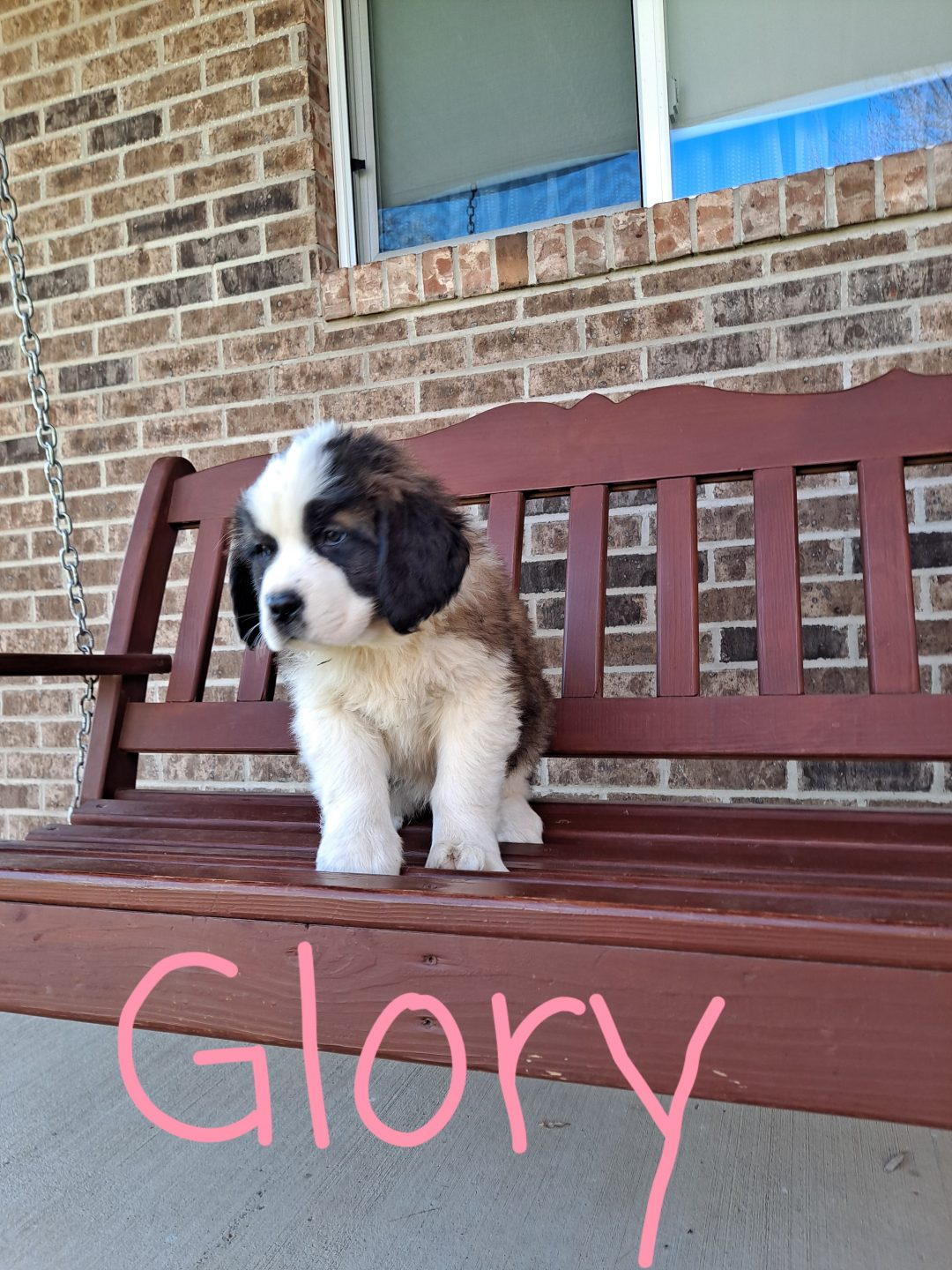 Glory - puppie female AKC Saint Bernard for sale near New Haven, Indiana