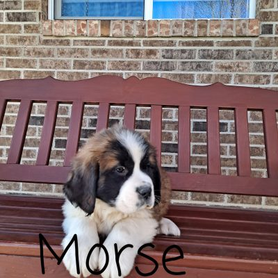 Morse - AKC Saint Bernard male puppy for sale in New Haven, Indiana