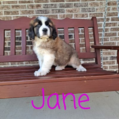 Jane - AKC Saint Bernard pupper for sale at New Haven, Indiana