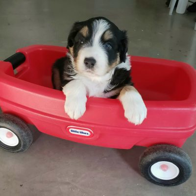 Baxter -  Australian Shepherd doggie for sale in Sunbury, Pennsylvania
