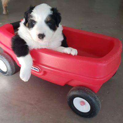 Bear - male Australian Shepherd puppy for sale in Sunbury, Pennsylvania