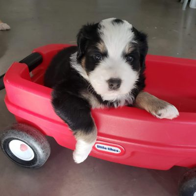 Scotty - Australian Shepherd pup for sale at Sunbury, Pennsylvania