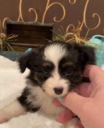 Ariel - Toy Australian Shepherd female pupper for sale in Owensboro, Kentucky