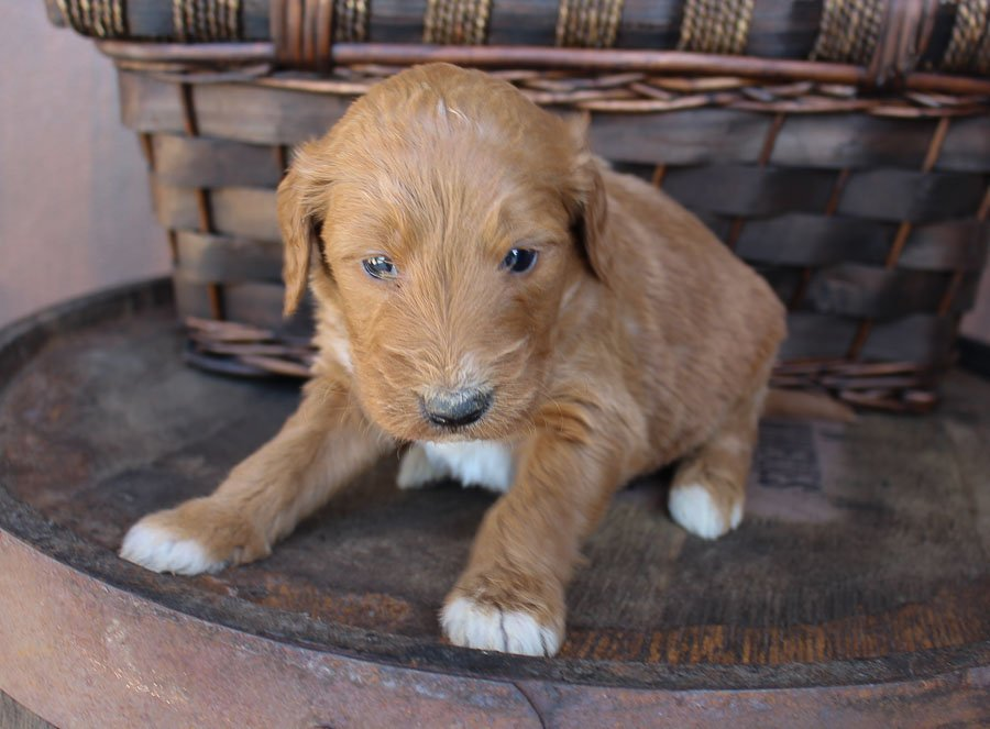 Pending - Goldendoodle male puppy for sale near New Haven, Indiana
