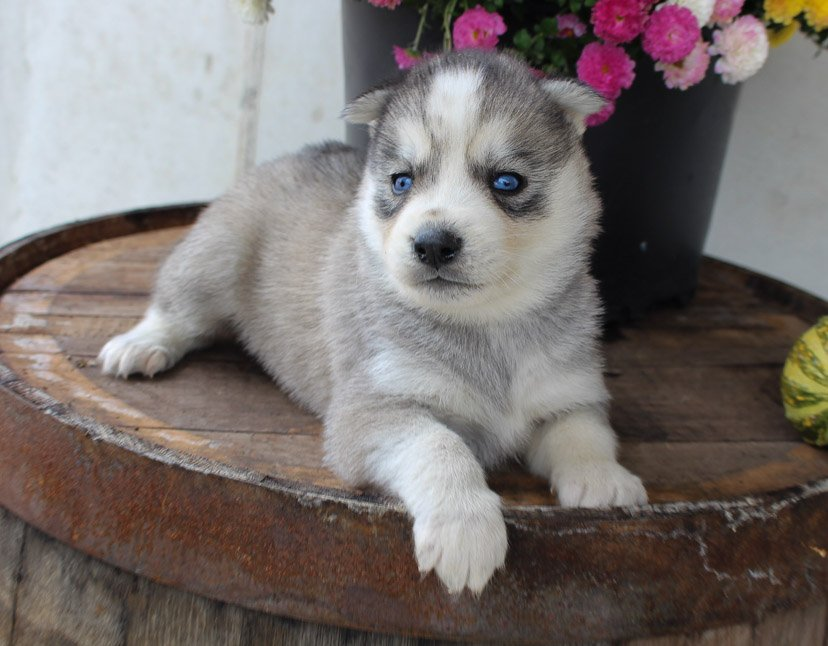 Henry - AKC Siberian Husky puppie for sale in New Haven, Indiana