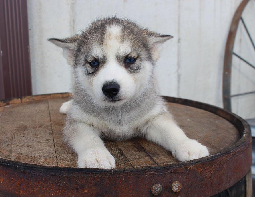 Hudson - AKC Siberian Husky doggie for sale in New Haven, Indiana