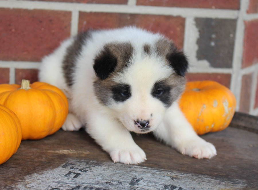 Aaron - AKC Akita puppie for sale at New Haven, Indiana