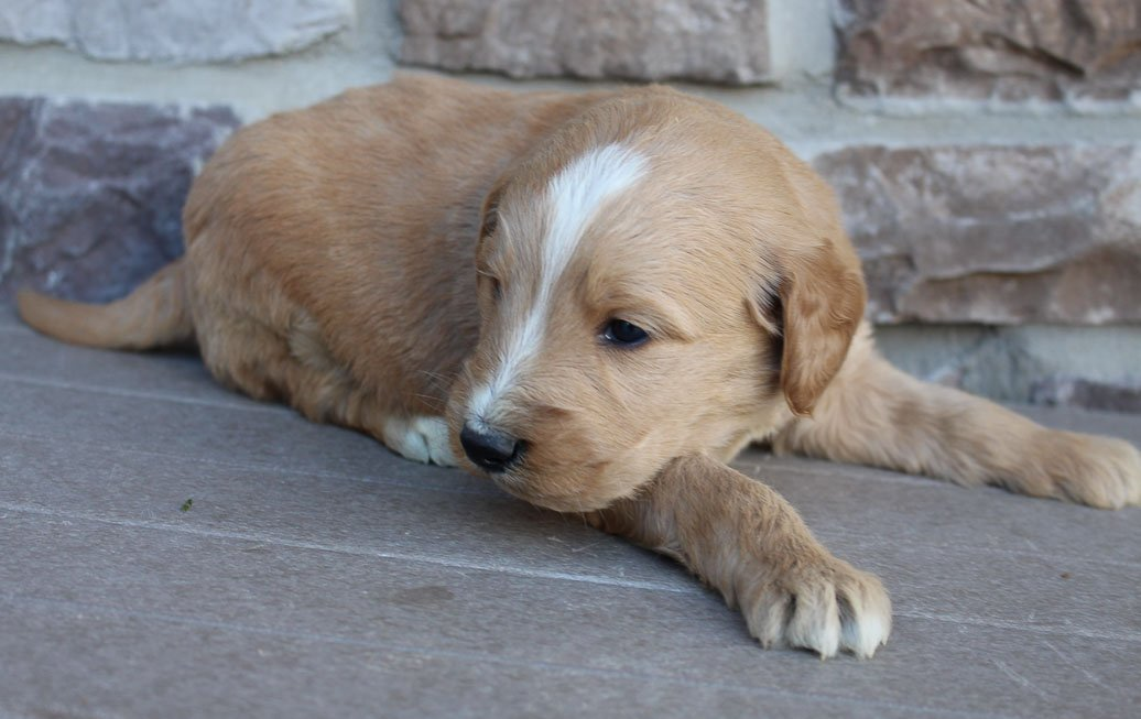 Jordan - Goldendoodle male puppy for sale in New Haven, Indiana