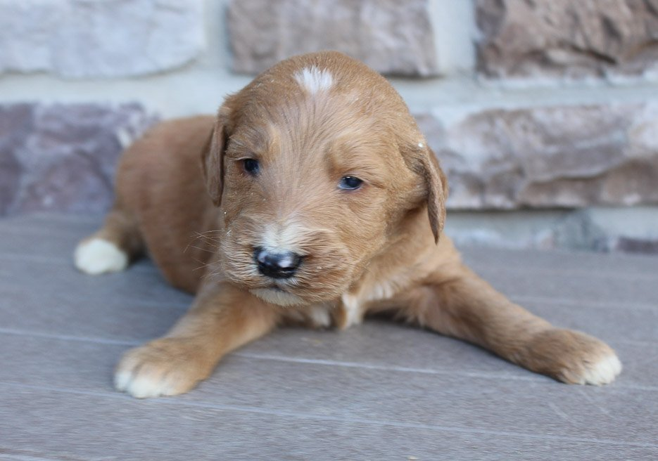 Jambo - Goldendoodle doggie for sale near New Haven, Indiana
