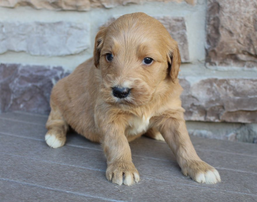 Justin - male Goldendoodle puppy for sale in New Haven, Indiana