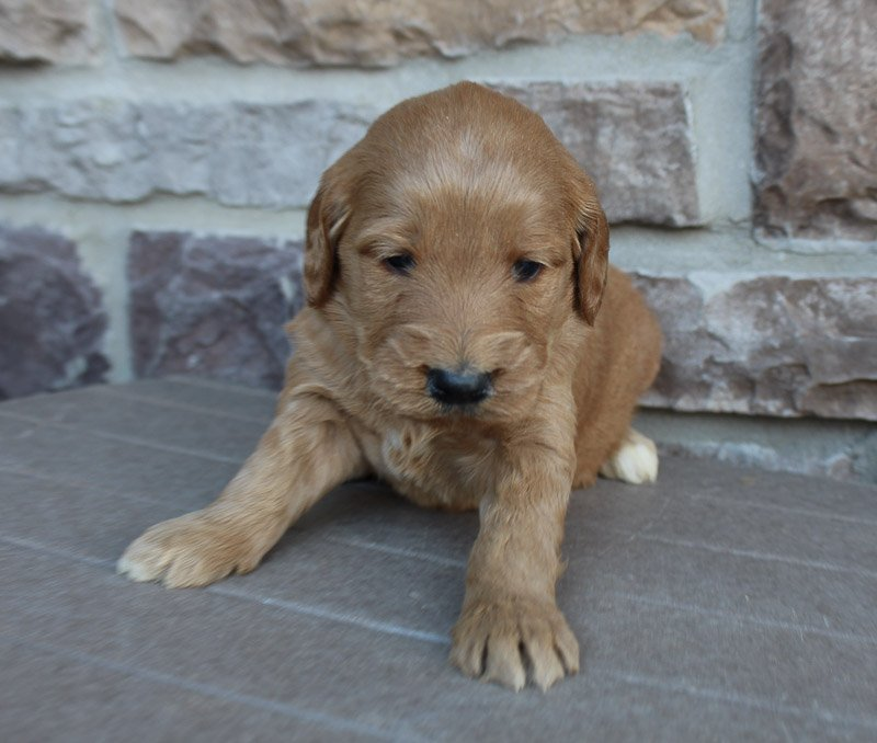 Jennifer - Goldendoodle female pup for sale near New Haven, Indiana