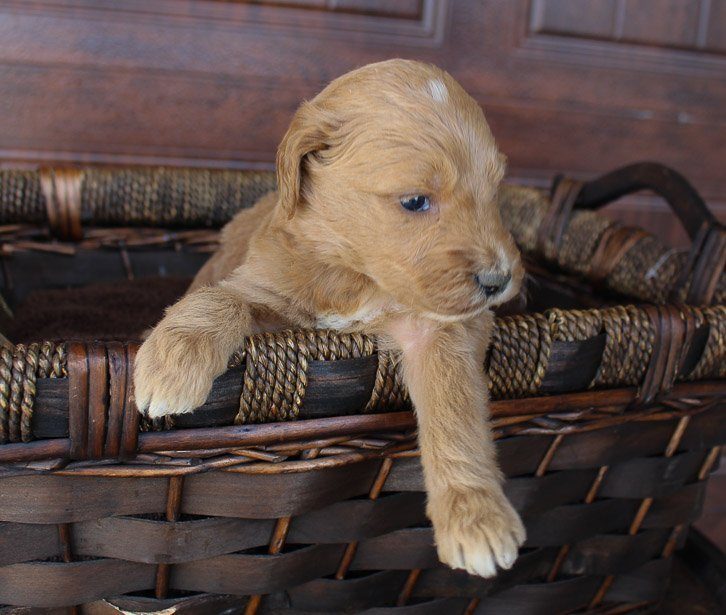 Sally - Goldendoodle female pup for sale at New Haven, Indiana