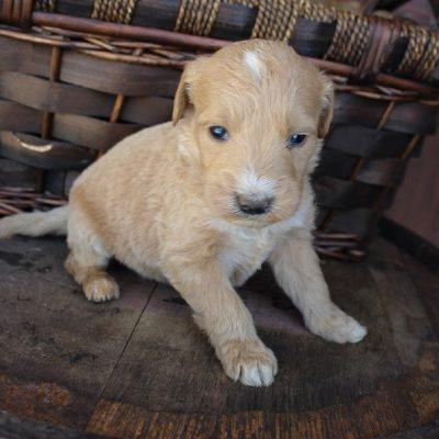 Sambo - Goldendoodle pupper for sale near New Haven, Indiana