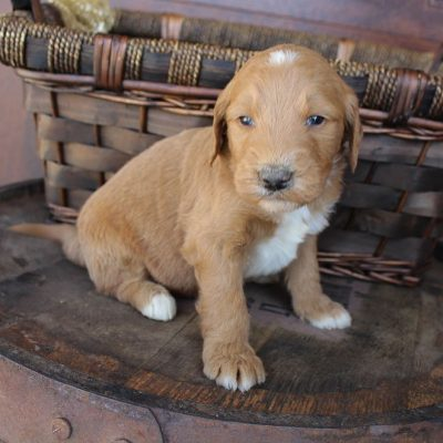 Pending - male Goldendoodle puppie for sale in New Haven, Indiana