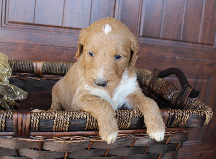 Sanford - Goldendoodle doggie for sale at New Haven, Indiana