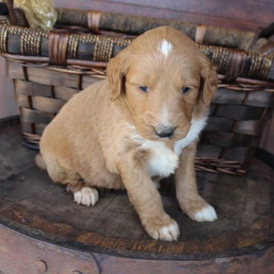 Sanford - Goldendoodle doggie for sale at New Haven, Indiana