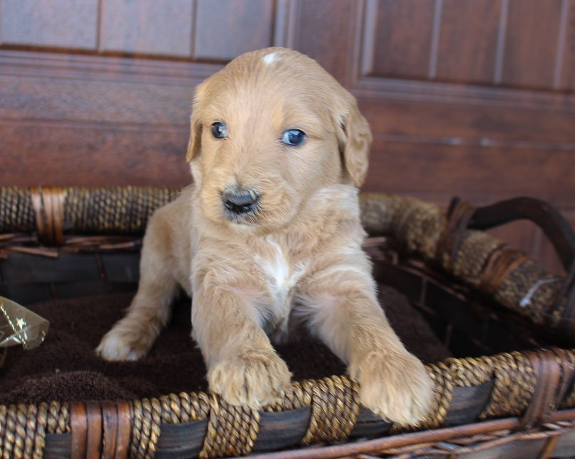 Sam - puppy Goldendoodle for sale near New Haven, Indiana