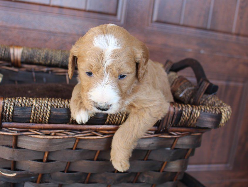 Pending - male Goldendoodle pupper for sale at New Haven, Indiana