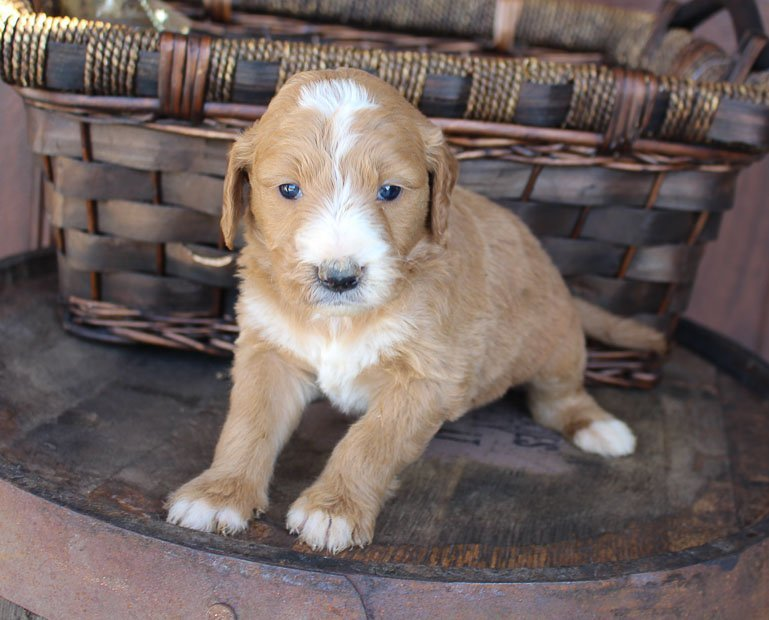 Smoke - male Goldendoodle pupper for sale at New Haven, Indiana