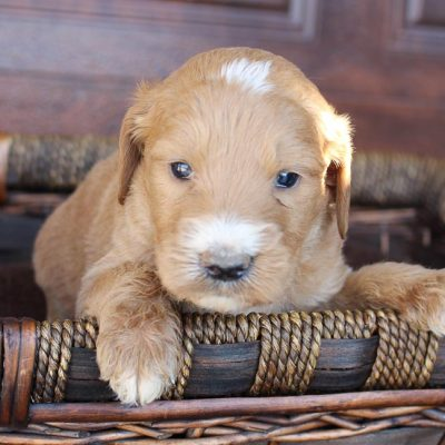 Sparky - Goldendoodle pup for sale near New Haven, Indiana