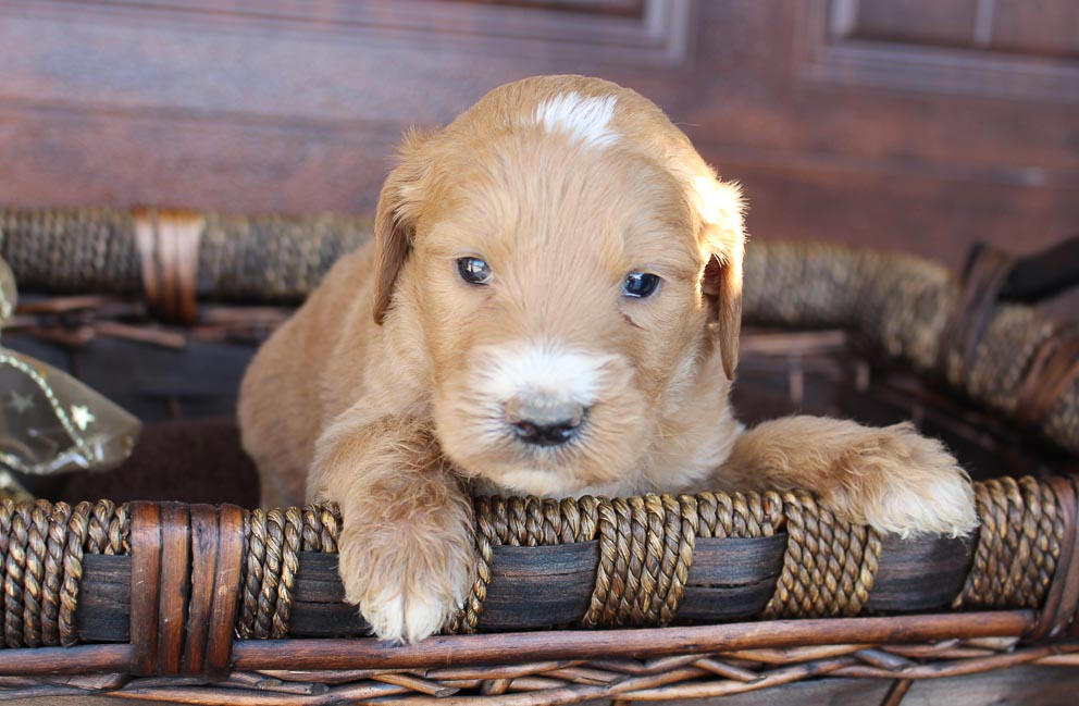 Pending - Goldendoodle pup for sale near New Haven, Indiana