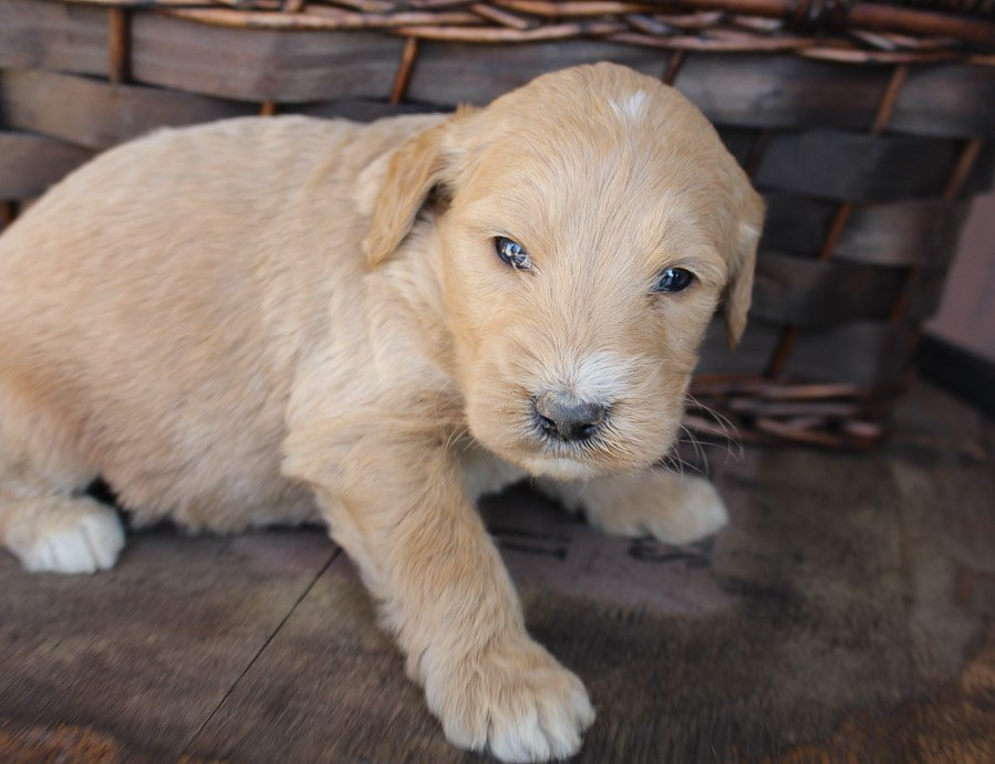 Sargent - puppie Goldendoodle for sale in New Haven, Indiana