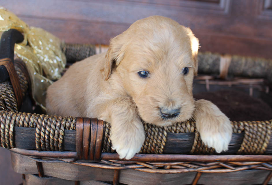 Spencer - Goldendoodle male doggie for sale at New Haven, Indiana