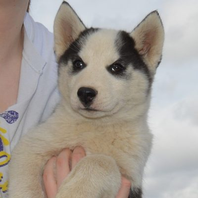 Roscoe - APRI Siberian Husky male pupper for sale in Hartville, Missouri