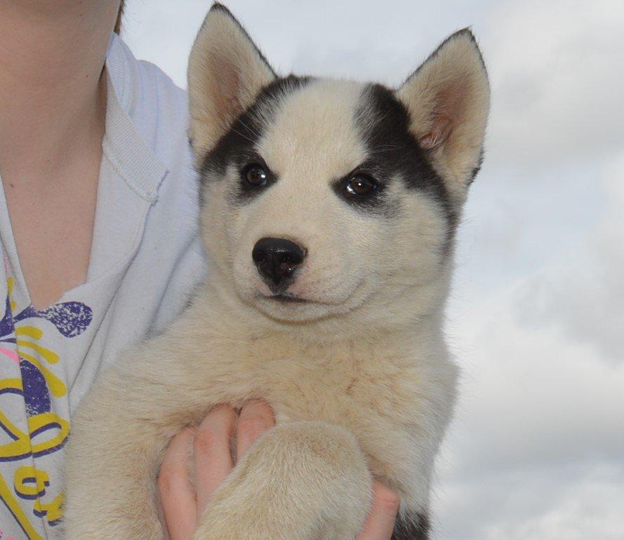 Roscoe - APRI Siberian Husky male pupper for sale in Hartville, Missouri
