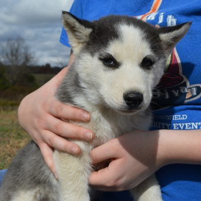 Sam - APRI Siberian Husky pup for sale at Hartville, Missouri