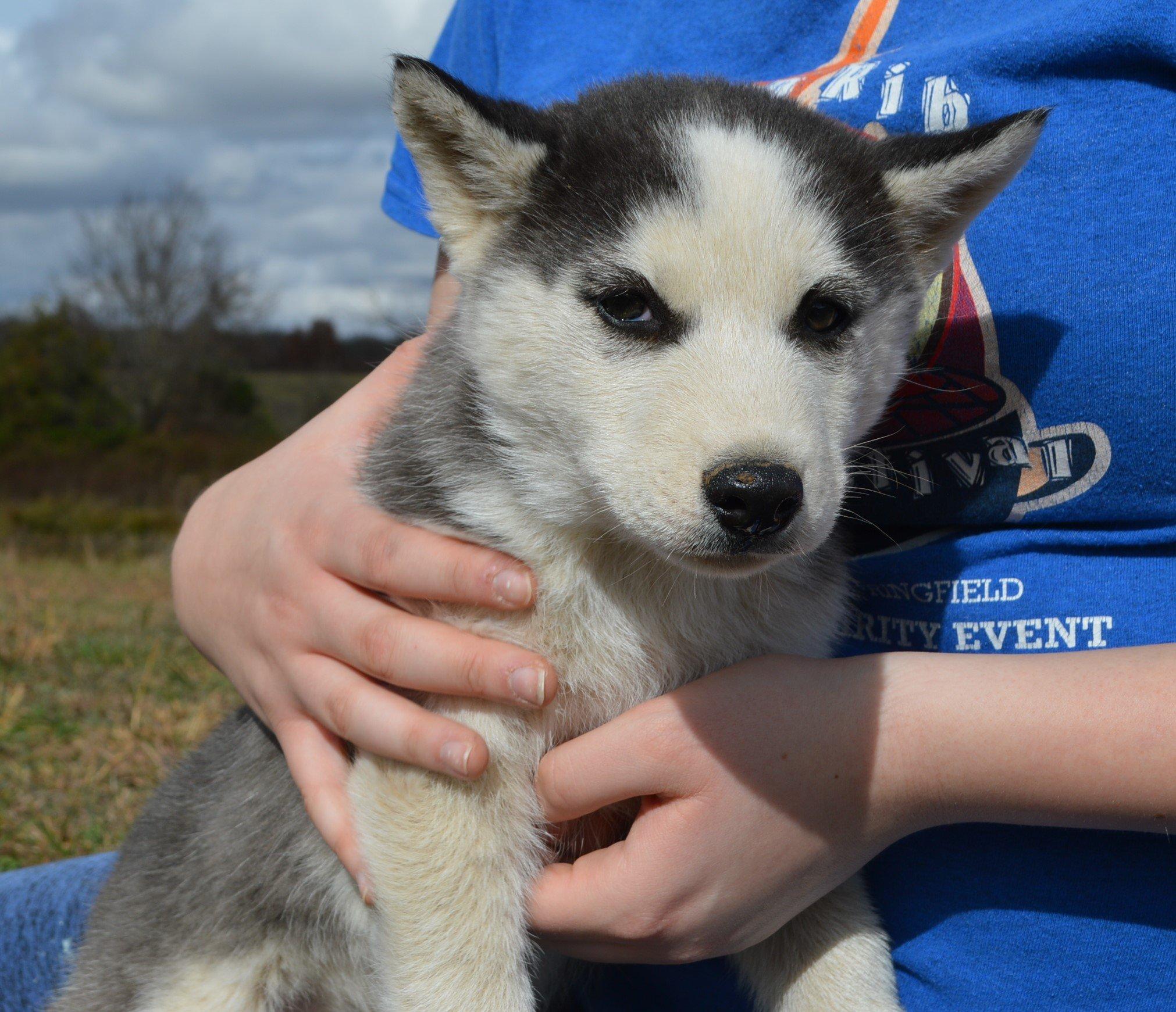Sam - APRI Siberian Husky pup for sale at Hartville, Missouri