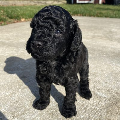 Lennox - ICA Miniature Poodle male pupper for sale at Harrisburg, Pennsylvania
