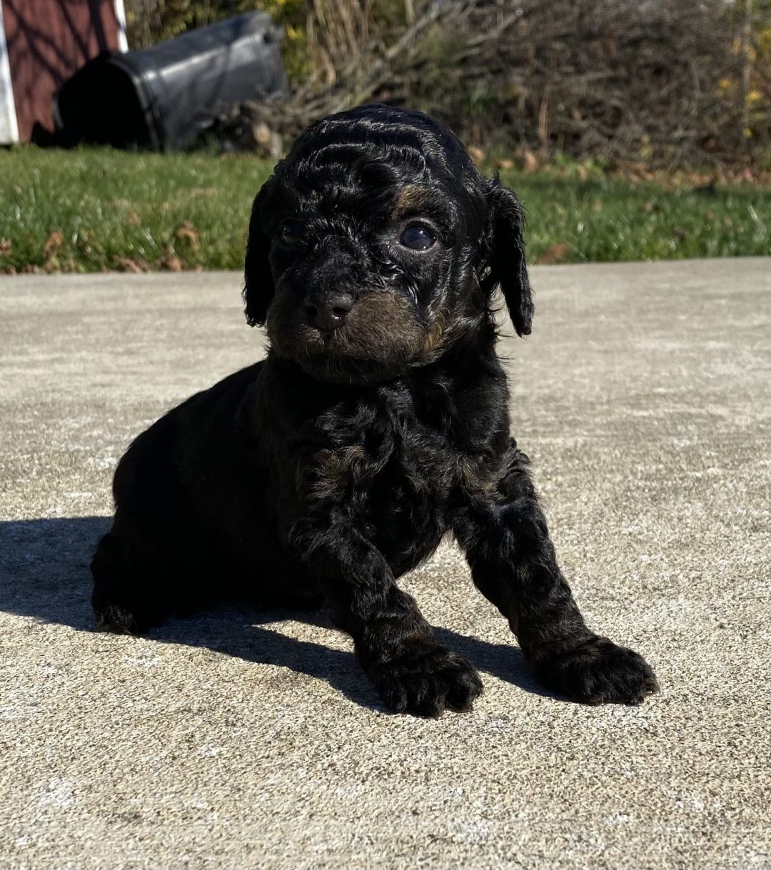 Lady - female ICA Miniature Poodle puppy for sale near Harrisburg, Pennsylvania