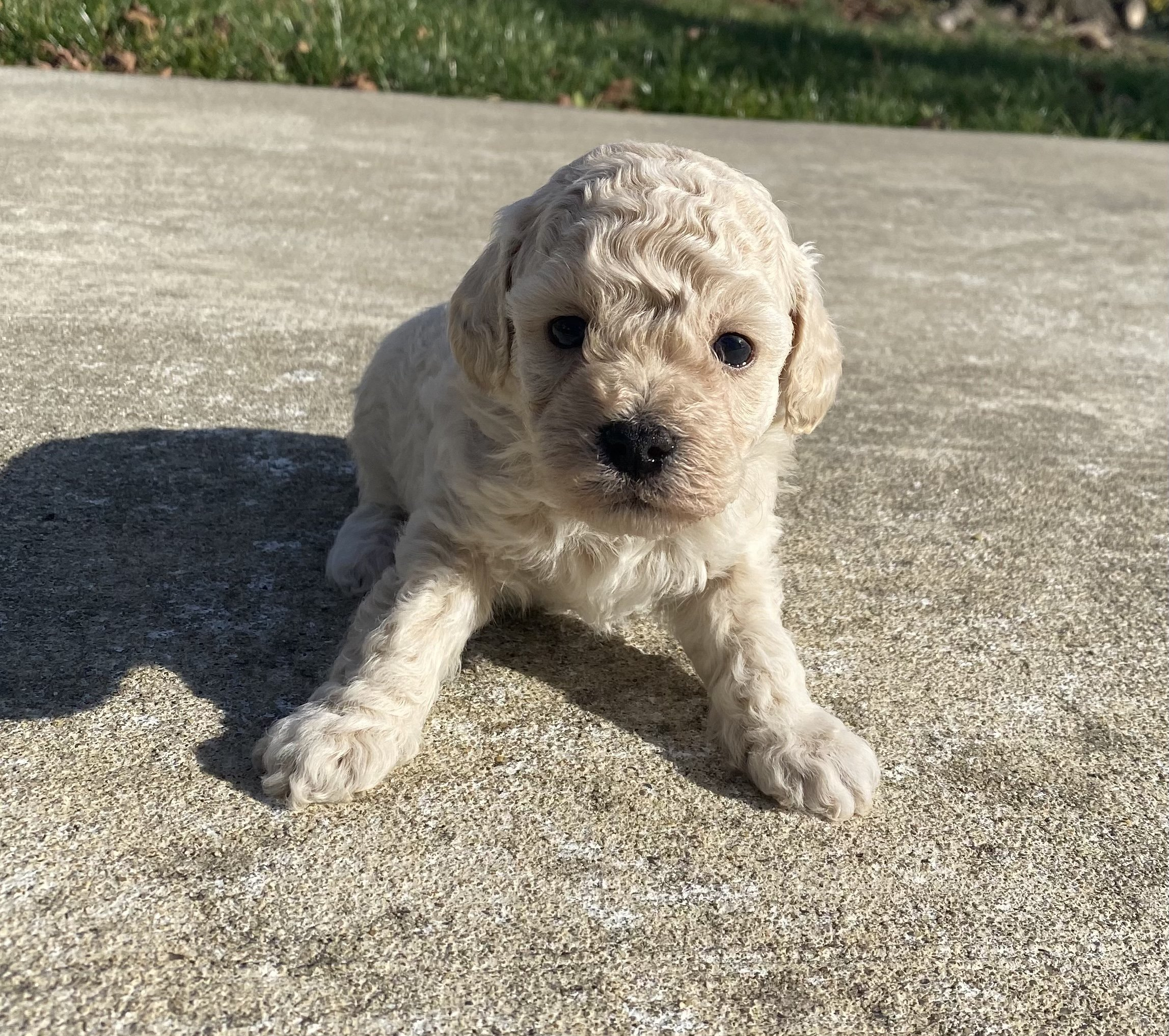 Luka - ICA Miniature Poodle pup for sale in Harrisburg, Pennsylvania