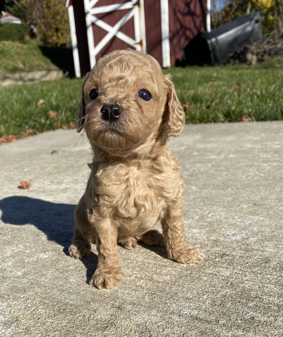 Liam - ICA Miniature Poodle doggie for sale at Harrisburg, Pennsylvania