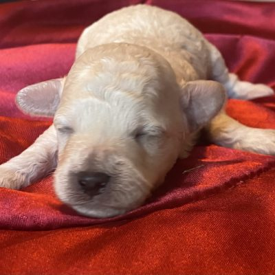 Levi - puppie ICA Miniature Poodle for sale near Harrisburg, Pennsylvania