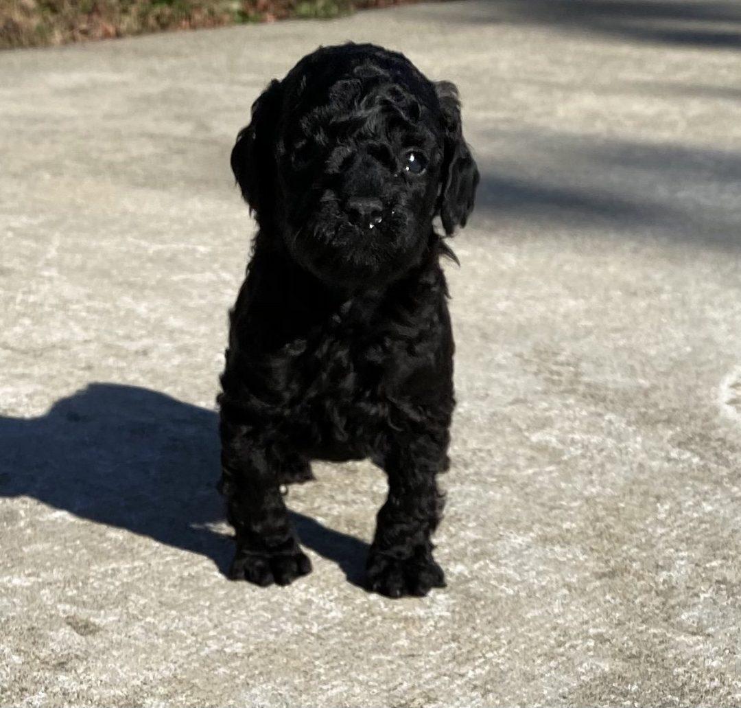 Lorenzo - ICA male Miniature Poodle puppie for sale in Harrisburg, Pennsylvania