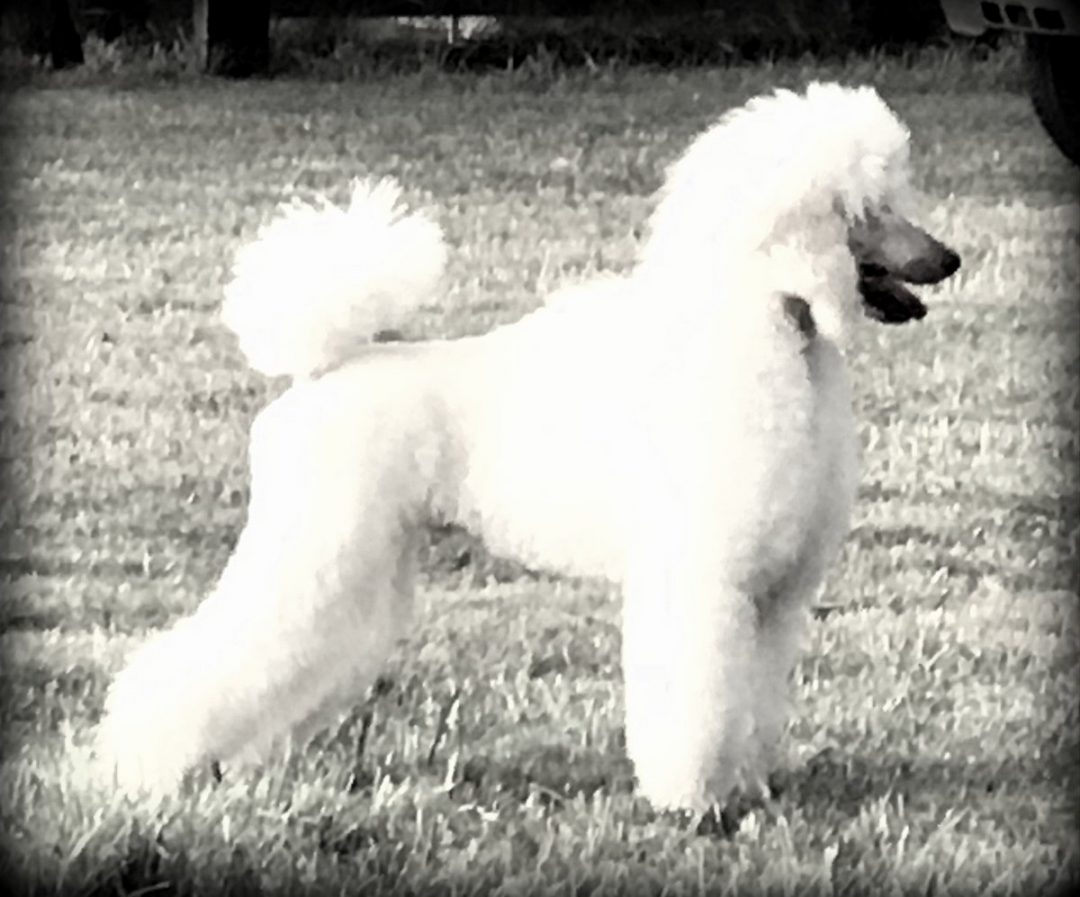 Champion Sired White Standard Poodle for sale Oregon