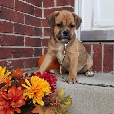 Bella - Lab-Bernese-Beagle pupper for sale at New Haven, Indiana