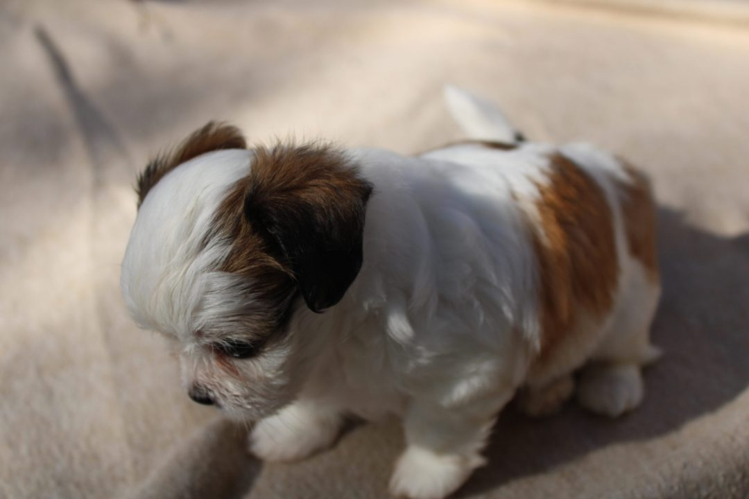 Brownie - Chihuahua female puppy for sale in Winston Salem, North Carolina