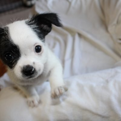 Sweet Pea - Chihuahua pup for sale at Winston Salem, North Carolina