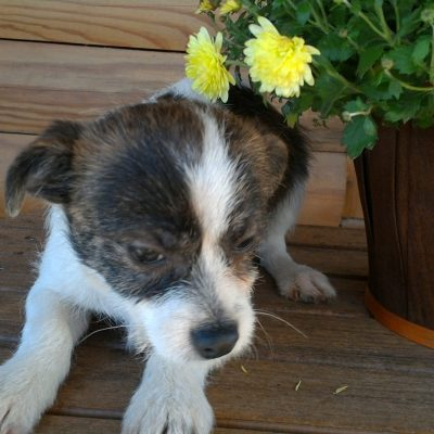 Ace - Chihuahua male doggie for sale near Winston Salem, North Carolina