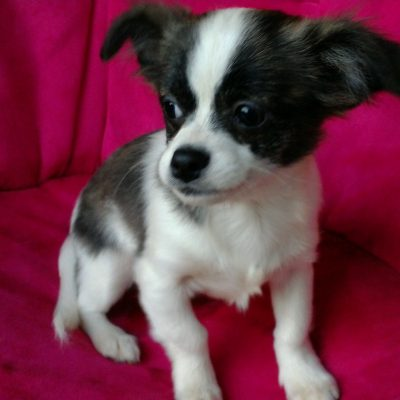 Charlie - Chihuahua doggie for sale at Winston Salem, North Carolina