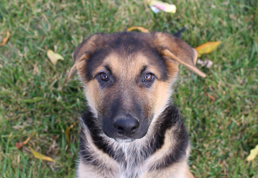 Pending -male AKC German Shepherd pup for sale at New Haven, Indiana