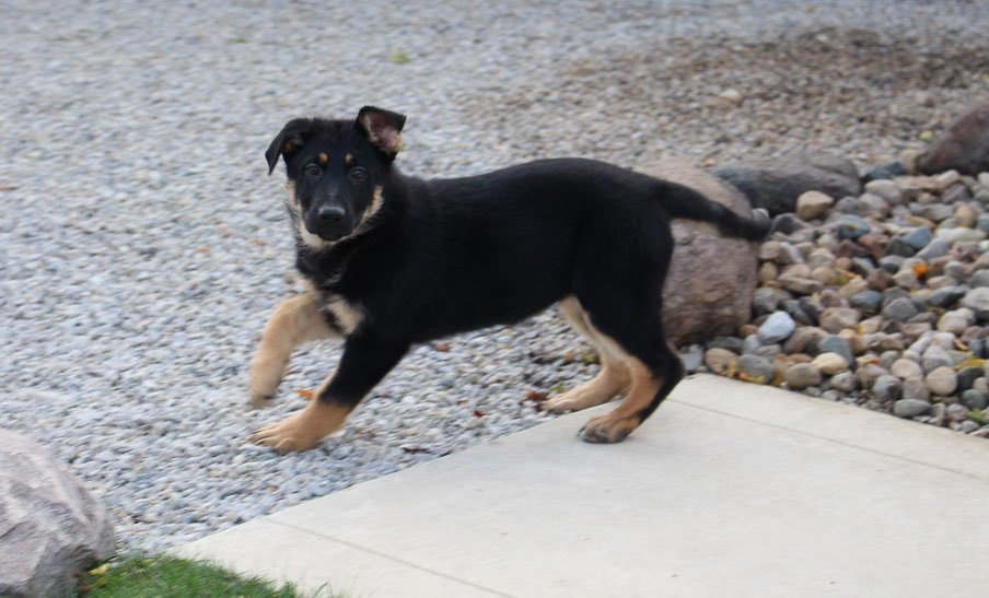 Dashae - AKC German Shepherd puppy for sale in New Haven, Indiana