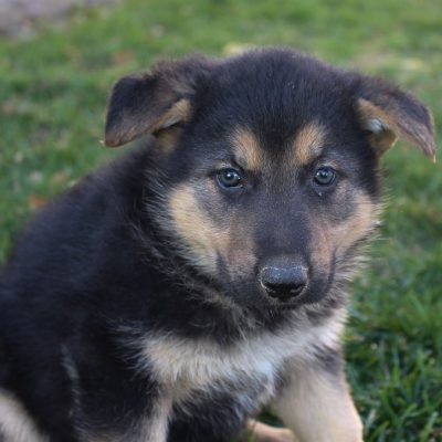 Pending- female AKC German Shepherd puppy for sale in New Haven, Indiana