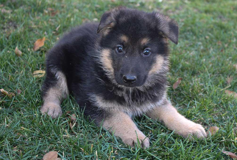 Spud - male AKC German Shepherd doggie for sale in New Haven, Indiana