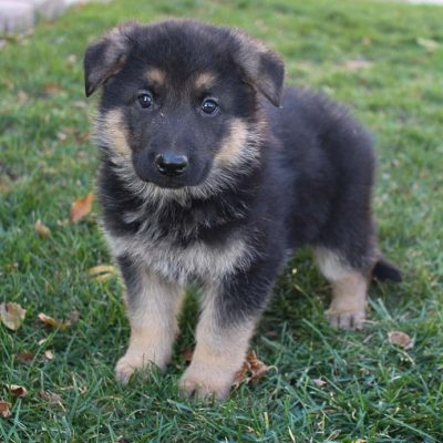 Pending - male AKC German Shepherd doggie for sale in New Haven, Indiana