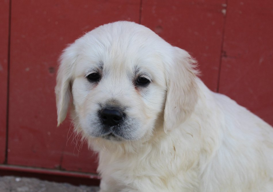 Max - AKC Golden Retriever male puppy for sale in St. Joe, Indiana
